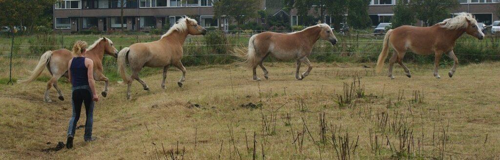 Rollen in de paardenkudde